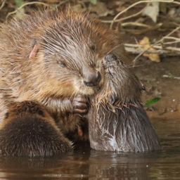 A-beaver-female-with-kits-news-Mike-Symes, Devon-Wildlife-Trust