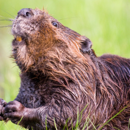 Trial finds benefits to people and wildlife from beavers living wild in English countryside
