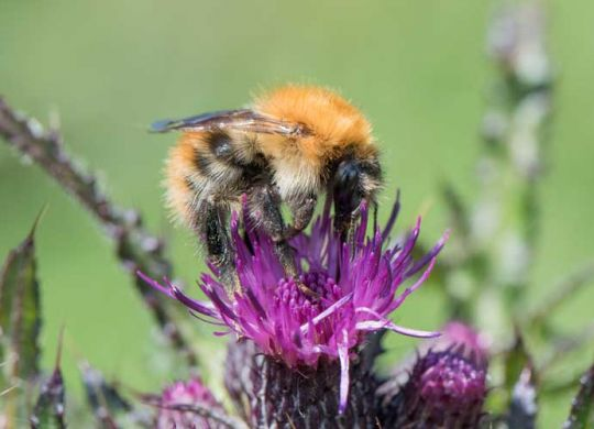 Close up of bee on thistle by Clare Lemon