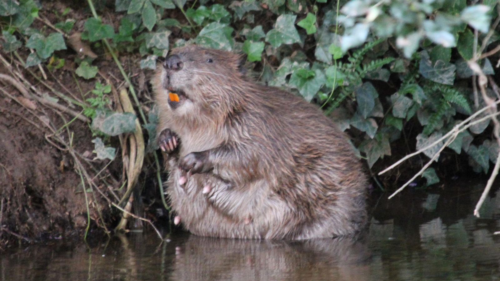 Beaver in the River Otter by Roger Auster
