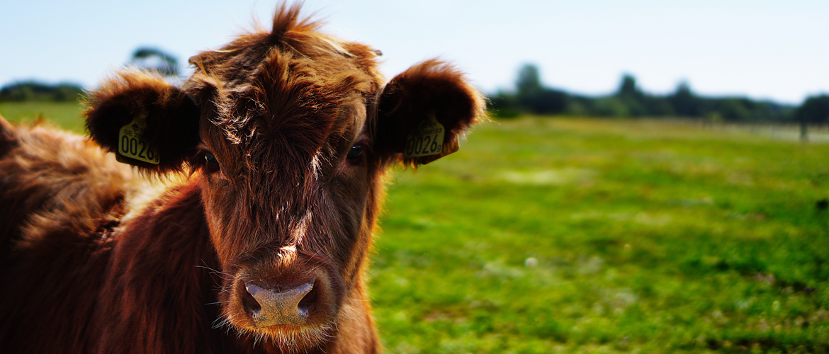 Young brown cow in field