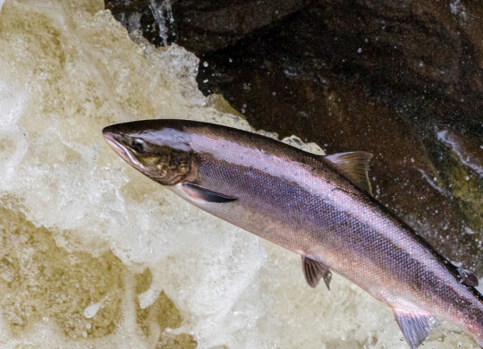 Salmon leaping upstream